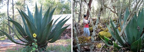 Maguey plants from agave family used to make pulque and mezcal